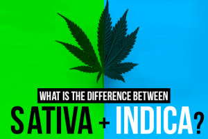 sativa vs indica vs hybrid whats the difference leafbuyer