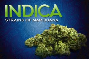 indica strains of marijuana