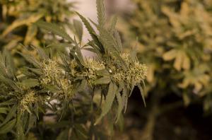 best weed grown in Colorado