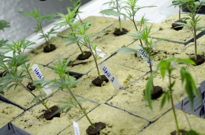 colorado marijuana laws clones grow