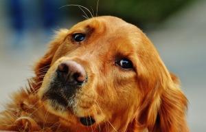 DOGS AND MARIJUANA, GOLDEN RETRIEVER, DOG
