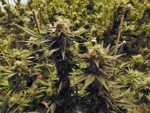 colorado marijuana growing limits, grow marijuana in seattle