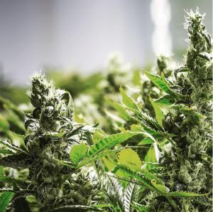 medicine man marijuana plant