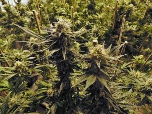 Seattle marijuana industry success stories