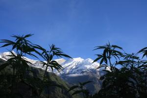 Cannabis_plants_snow