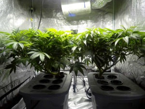 growing_cannabis_plants