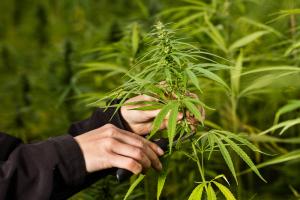 How to Prune Marijuana