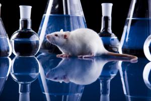 Laboratory Rats Testing Marijuana Heroin