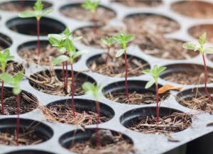 Marijuana Plants Sprouts in Soil