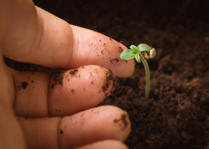 Marijuana Seedling Hand Dirt