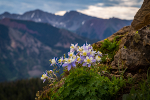 Colorado Mountainside Columbine Flower