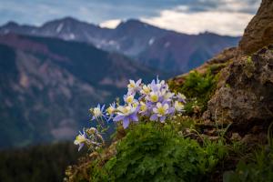 Colorado Mountainside Columbine Flower