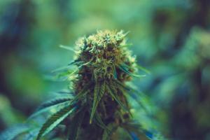 Medical Marijuana Plant on Blue Background