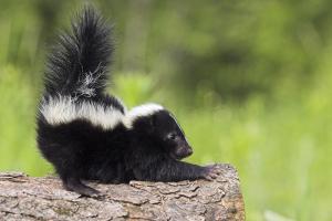 Baby Skunk in the Wild