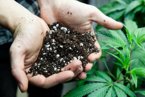 Hands full of cannabis soil